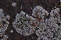 Lichen (25861450667).jpg