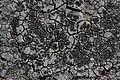Lichen (30636877658).jpg