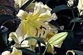 Lilium Conca dOr 5zz.jpg