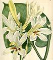 Lilium cordifolium 1.JPG