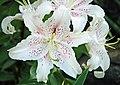 Lilium sp. (true lily) with Polistes dominula (European paper wasp) (49045163693).jpg