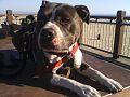 Lilydog is a Staffordshire Terrier aka Lillihammer.jpg