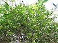 Lime - ചെറുനാരകം 10.JPG