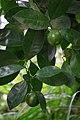 Lime Tree (31792048700).jpg