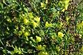 Linaria genistifolia (7997356467).jpg