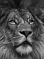 Lion (10805887).jpeg
