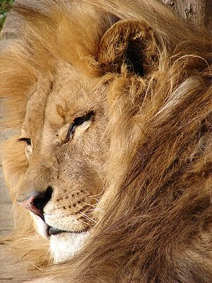 http://upload.wikimedia.org/wikipedia/commons/thumb/3/3a/Lion_06584.jpg/300px-Lion_06584.jpg