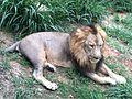 Lion at bannerghatta.jpg