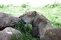 Lion in Greenville zoo (2453499042).jpg