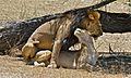 Lions (Panthera leo) mating (6532101365).jpg