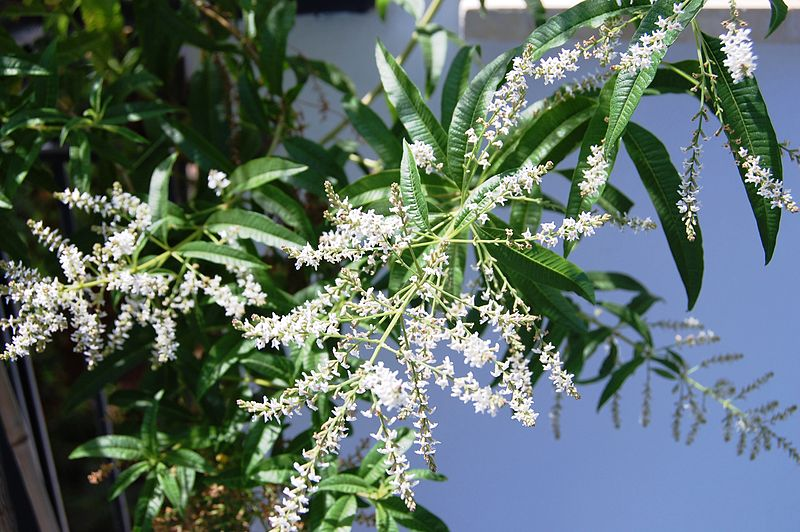 File:Lippia citriodora 0057.JPG