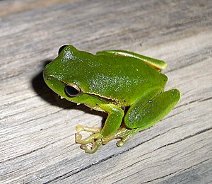 Leaf green tree frog - Image: Litoria phyllochroa