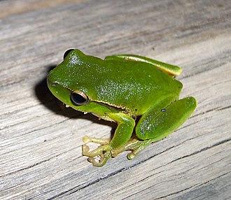 Leaf green tree frog - Image: Litoria phyllochroa