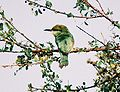 Little-Green-Bee-Eater.jpg