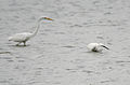 Little Egret (Egretta garzetta) with Great Egret (Casmerodius albus) W IMG 9992.jpg