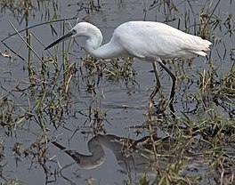 Little Egret Reflection.jpg