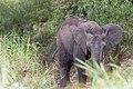 Little Elephant (2392604043).jpg