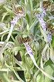 Lizard Orchid - Himantoglossum hircinum - panoramio (5).jpg