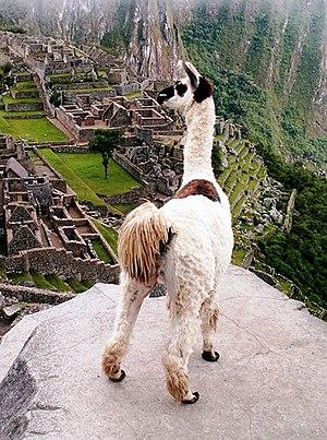 Llama overlooking Machu Picchu, Peru.