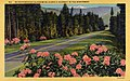 Location Unknown-Northwest - Rhododendrons Blossoming Along a Highway in the Northwest (NBY 430635).jpg