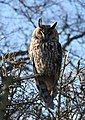 Long-eared owl - geograph.org.uk - 717381.jpg