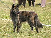 Long-haired Dutch Shepherd 2.JPG