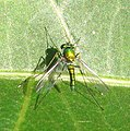 Long-legged fly (4600354653).jpg