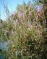 Long Island purple flowers.jpg