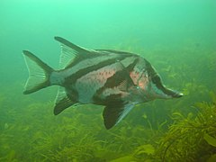 Long Snouted Boarfish 2.jpg