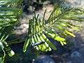 Long nosed weevil on acacia leaves.jpg