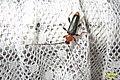 Longhorn beetle (NH266) (14524772742).jpg