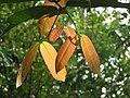 Lophopetalum wightianum temder leaves at Peravoor 2018 (1).jpg