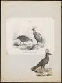 Lophophorus impeyanus - 1700-1880 - Print - Iconographia Zoologica - Special Collections University of Amsterdam - UBA01 IZ16900235.tif