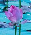 Lotus-flower-from-kottayam-kerala.jpg