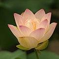 Lotus 0023.jpg