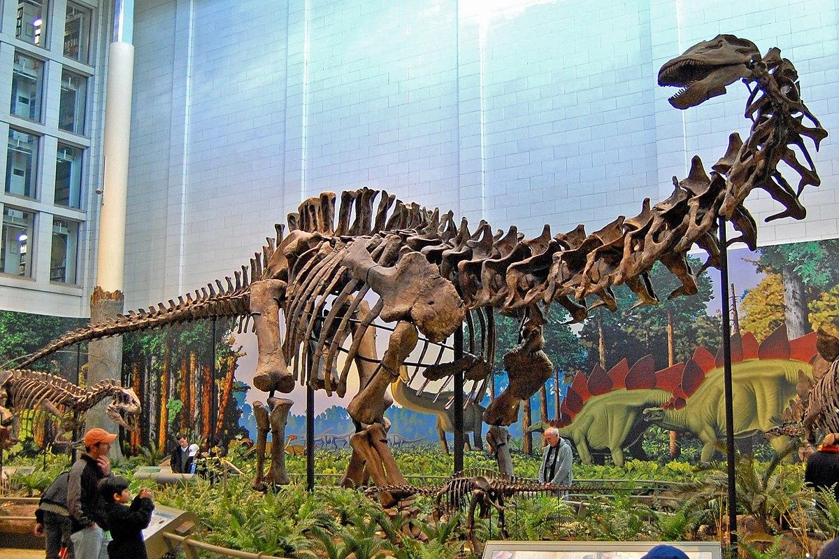 Apatosaurus wikipedia - Dinosaure diplodocus ...