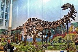 Remains of an Apatosaurus.