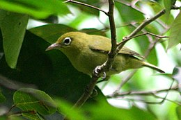 Louisiade white-eye.jpg