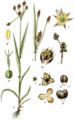 Luzula campestris (Sturm Abt.1, Bd.18, 1840, BHL-147982, Tafel VI.1 77.5.) clean, no-description.png