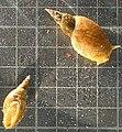 Lymnaea stagnalis.JPG