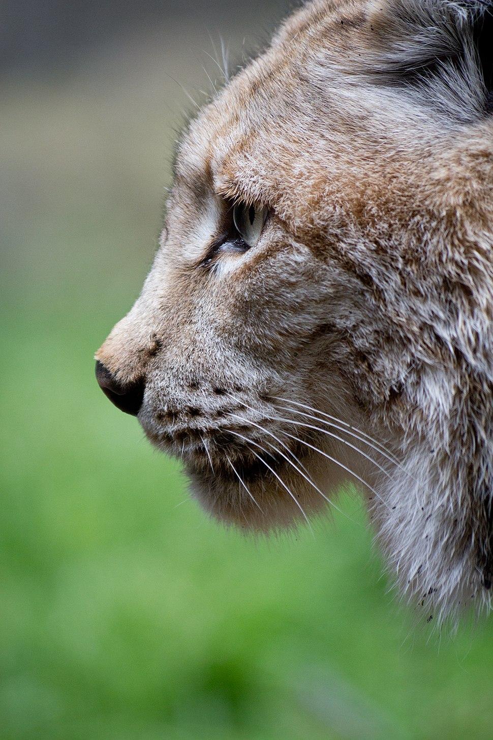 Lynx lynx - 05