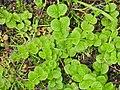 Lysimachia nummularia 131794671.jpg