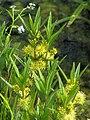 Lysimachia thyrsiflora Tojeść bukietowa 2010-05-29 02.jpg