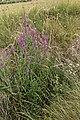 Lythrum salicaria-Salicaire-20160712 1.jpg