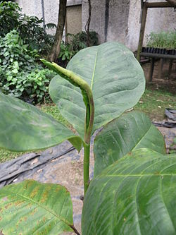 Magnolia yarumalense wikipedia la enciclopedia libre for Vivero las magnolias