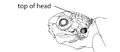M1. Head scales (V13a).png