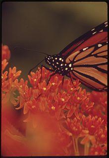 butterfly milkweed wiktionary