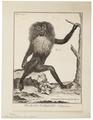 Macacus silenus - 1751-1780 - Print - Iconographia Zoologica - Special Collections University of Amsterdam - UBA01 IZ20000099.tif