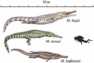 Machimosaurus - Illustrations of the three European species