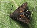 Macroglossum stellatarum - Hummingbird hawk-moth - Бражник-языкан (42986481101).jpg